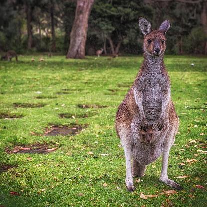 カンガルー「Australia, Kangaroo and joey」:スマホ壁紙(12)