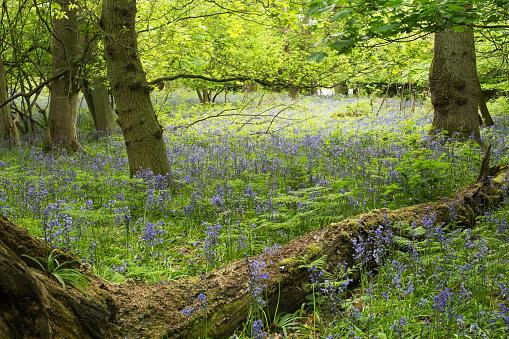 Fallen Tree「Bluebell Woods, Rutland, UK」:スマホ壁紙(14)