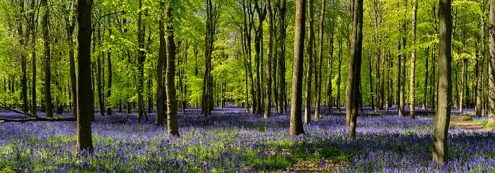Bluebell Wood「Bluebell Wood Panoramic」:スマホ壁紙(14)