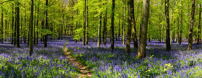 Bluebell Wood「Bluebell Wood Panoramic」:スマホ壁紙(6)