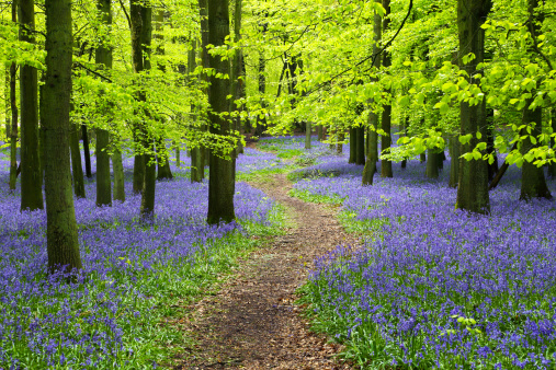 Bluebell Wood「Bluebell wood with winding path and beech trees」:スマホ壁紙(17)