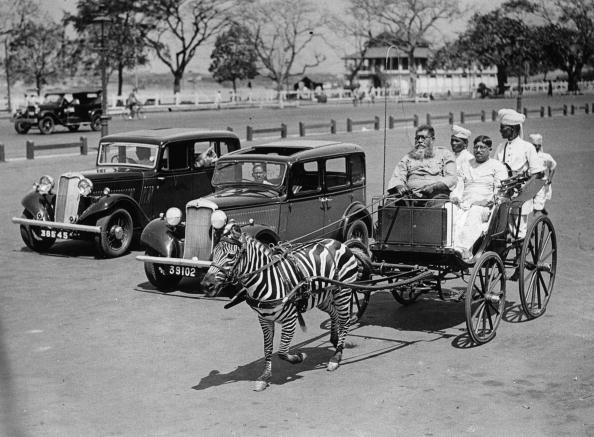 Pulling「A zebra as horse substitute pulling a carriage in Calcutta, Photograph, India, Around 1930」:写真・画像(0)[壁紙.com]