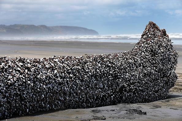 動物「Large Barnacle Covered Object Washed Up On Muriwai Beach」:写真・画像(9)[壁紙.com]