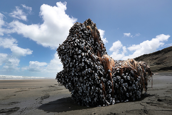 Crustacean「Large Barnacle Covered Object Washed Up On Muriwai Beach」:写真・画像(5)[壁紙.com]