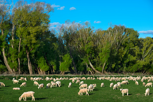 春「Newly sheared sheep grazing in a pasture.」:スマホ壁紙(1)