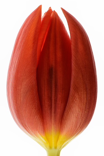 チューリップ「Red tulip in front of white background」:スマホ壁紙(0)