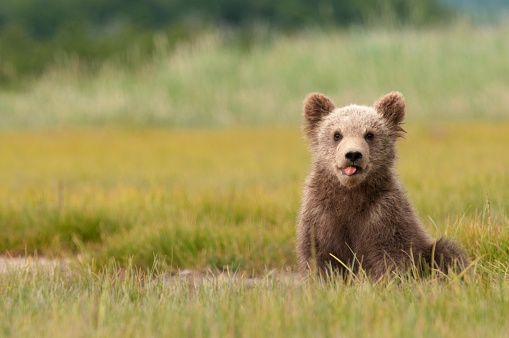Bear Cub「A brown grizzly bear cub (ursus arctos horribilis) sticking out it's tongue, alaska, united states of america」:スマホ壁紙(11)