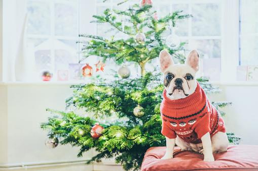 Pets「Cute French Bulldog in Christmas Jumper posing by Christmas Tree」:スマホ壁紙(13)