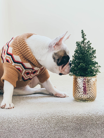 Well-dressed「Cute French Bulldog in kintted jumper sniffing mini Christmas tree in a flower pot」:スマホ壁紙(0)