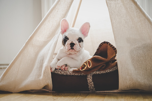 Tent「Cute French Bulldog puppy lying in bed inside a teepee tent, England」:スマホ壁紙(5)