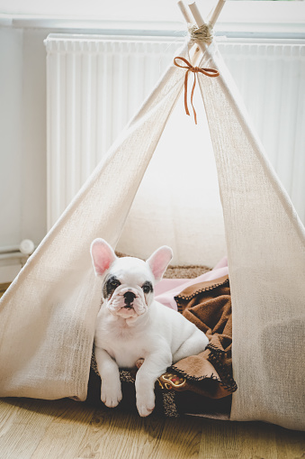 Pet Clothing「Cute French Bulldog puppy lying in bed inside a teepee tent, England」:スマホ壁紙(8)