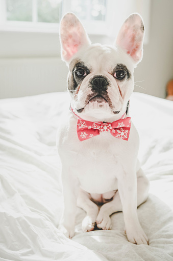 Fashion Show「Cute French Bulldog puppy wearing red snowflake bowtie waiting to go out for a party」:スマホ壁紙(12)
