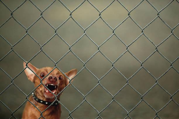 Chihuahua guard dog growling and barking behind chain-link fence:スマホ壁紙(壁紙.com)