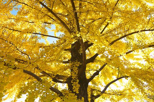 紅葉「Gingko tree in autumn, Tokyo Prefecture, Honshu, Japan」:スマホ壁紙(18)