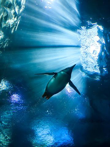 Back Lit「Penguin Swimming」:スマホ壁紙(7)