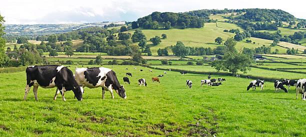 Panoramic of Dairy Cows:スマホ壁紙(壁紙.com)