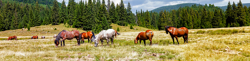 樹木「野生馬の放牧や牧草地トランシルバニアの Apuseni 山脈のパッドでのパノラマ」:スマホ壁紙(17)