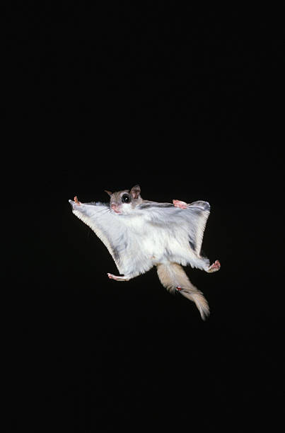 Southern Flying Squirrel in Flight:スマホ壁紙(壁紙.com)
