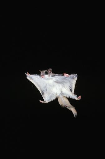 Squirrel「Southern Flying Squirrel in Flight」:スマホ壁紙(8)