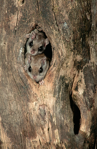 Squirrel「Southern Flying Squirrels in a Knothole」:スマホ壁紙(3)