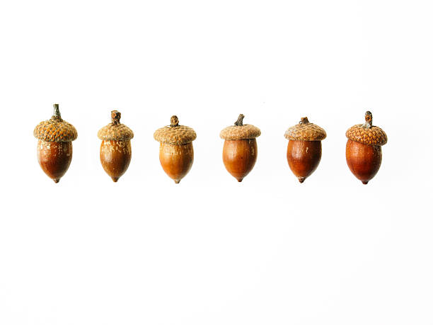 Row of Acorns on white background:スマホ壁紙(壁紙.com)