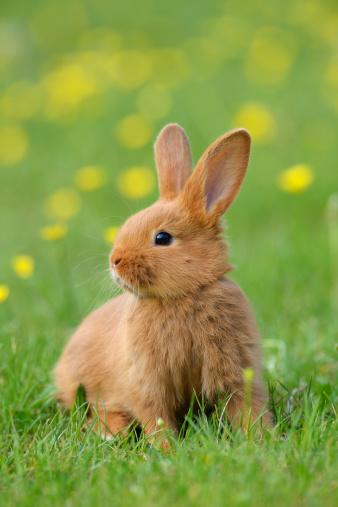 Baby Rabbit「Baby rabbit in meadow」:スマホ壁紙(17)