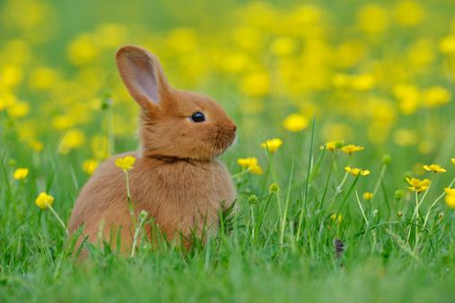 Baby Rabbit「Baby rabbit in meadow.」:スマホ壁紙(11)