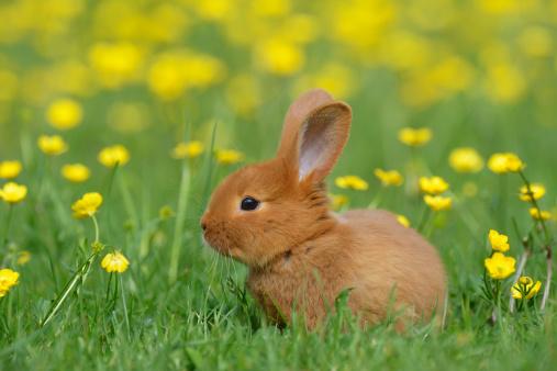 Rabbit「Baby rabbit in meadow」:スマホ壁紙(0)