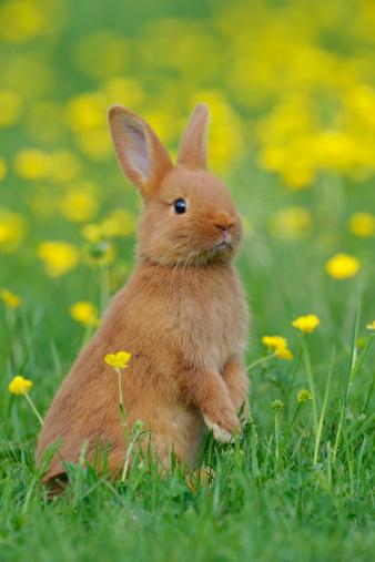 Baby Rabbit「Baby rabbit in meadow」:スマホ壁紙(11)