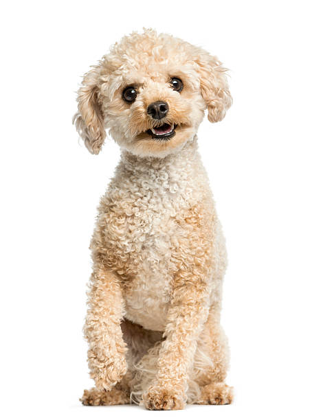 Poodle sitting in front of a white background:スマホ壁紙(壁紙.com)