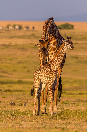 Giraffe「Giraffe mother grooming baby.」:スマホ壁紙(14)
