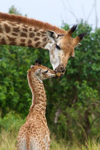 Giraffe「Giraffe mother attending to calf」:スマホ壁紙(18)