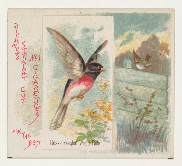 Songbird「Rose-Breasted Wood Robin」:写真・画像(6)[壁紙.com]