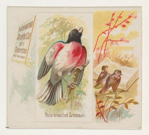 Songbird「Rose-Breasted Grosbeak」:写真・画像(6)[壁紙.com]