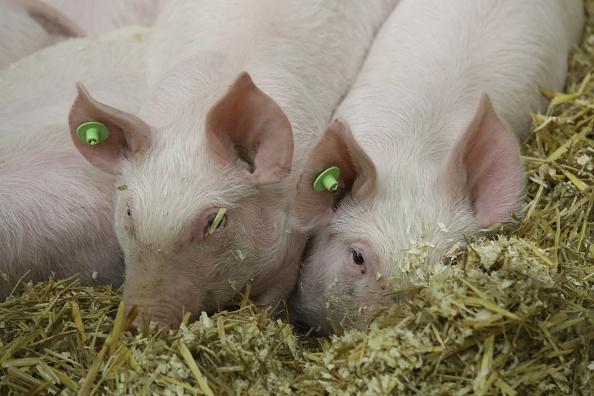 Pig「International Green Week 2018 Agricultural Trade Fair」:写真・画像(14)[壁紙.com]