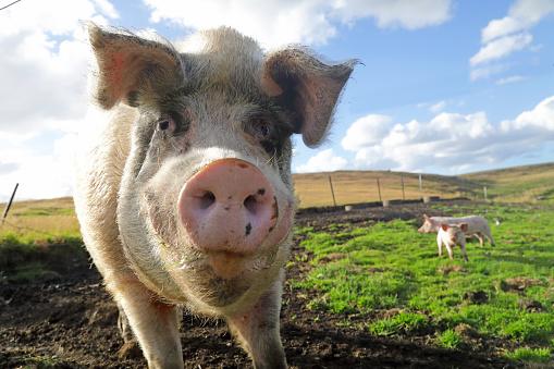 Falkland Islands「Large white pig in field」:スマホ壁紙(3)