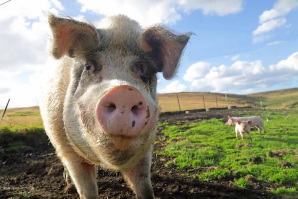 Large white pig in field:スマホ壁紙(壁紙.com)