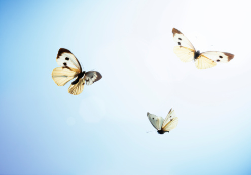 Animal Wing「Large white butterflies (Pieris brassicae) in flight, low angle view」:スマホ壁紙(3)