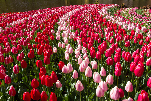 Netherlands「Curving rows of red and Pink Tulips」:スマホ壁紙(7)
