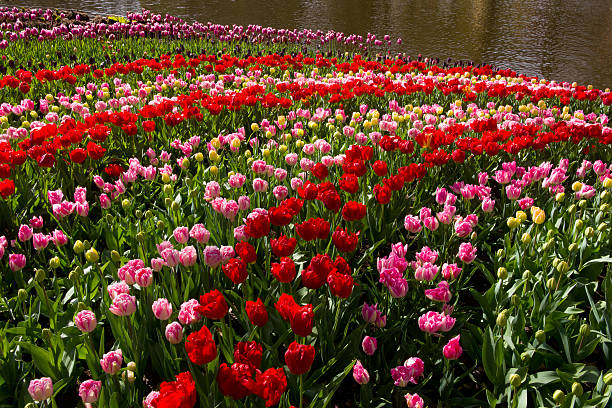 Curving rows of colorful Tulips.:スマホ壁紙(壁紙.com)
