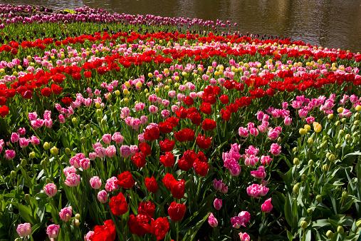 Keukenhof Gardens「Curving rows of colorful Tulips.」:スマホ壁紙(2)