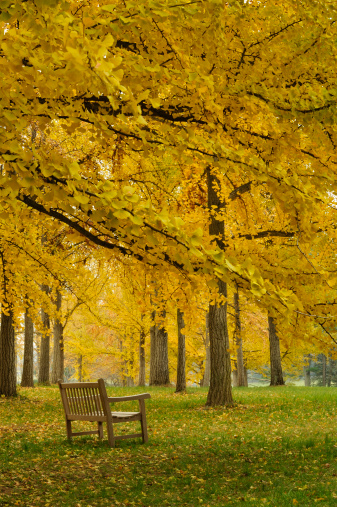 Grove「Autumn Scenic Bench in Ginkgo Grove Vertical」:スマホ壁紙(11)