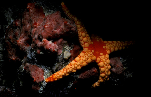 モルディブ「Noduled sea star (Fromia nodosa), Maldives.」:スマホ壁紙(15)