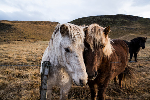 Three Quarter Length「Iceland, Portrait of two Icelandic horses standing behind wire fence」:スマホ壁紙(7)