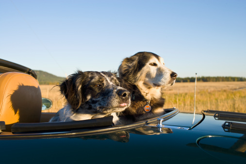 Headshot「USA, Montana, Whitefish, Two dogs sitting on rear seats of convertible car during road trip」:スマホ壁紙(19)