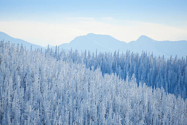 USA, Montana, Whitefish, Tree tops covered with fresh snow:スマホ壁紙(壁紙.com)