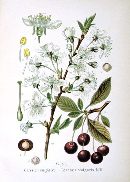 Stamen「Sour cherry, 1893.」:写真・画像(19)[壁紙.com]