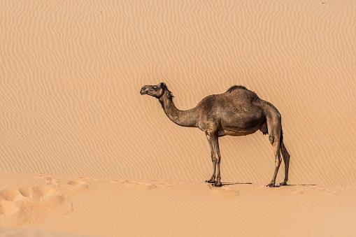Working Animal「Lone camel」:スマホ壁紙(4)