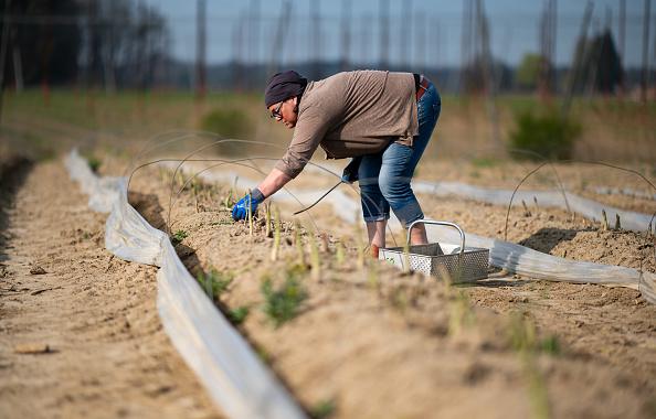 Asparagus「Locals Help Harvest During The Coronavirus Crisis」:写真・画像(18)[壁紙.com]