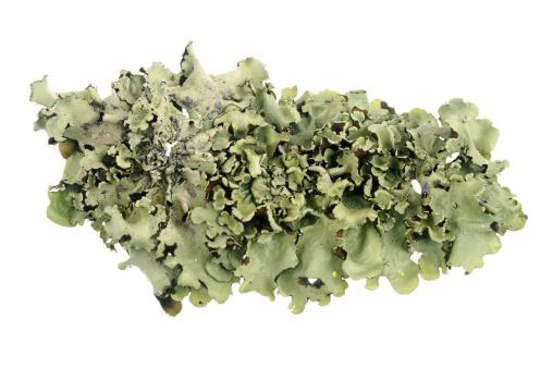Algae「Lichen Isolated On White」:スマホ壁紙(0)